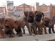 Baby Female Purebred Boerboel   Dogs & Puppies for sale in Oyo State, Ibadan
