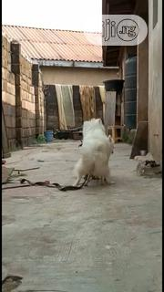 Adult Male Purebred American Eskimo Dog | Dogs & Puppies for sale in Ogun State, Ado-Odo/Ota