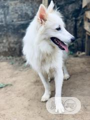 Adult Male Purebred American Eskimo Dog   Dogs & Puppies for sale in Ondo State, Akure
