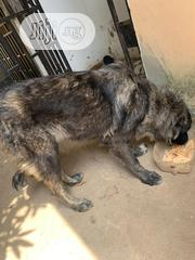 Adult Female Purebred Caucasian Shepherd Dog   Dogs & Puppies for sale in Abuja (FCT) State, Gwagwalada