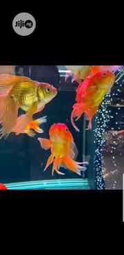 Aquarium Gold Fish | Fish for sale in Lagos State, Lekki Phase 1