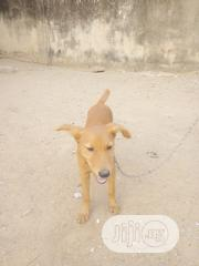 Adult Male Mixed Breed American Foxhound | Dogs & Puppies for sale in Lagos State, Oshodi-Isolo