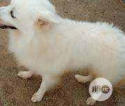 Young Male Purebred American Eskimo Dog | Dogs & Puppies for sale in Ogun State, Ogun Waterside