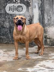 Adult Female Purebred Boerboel | Dogs & Puppies for sale in Lagos State, Oshodi-Isolo