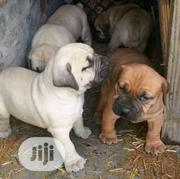 Young Male Purebred Boerboel | Dogs & Puppies for sale in Bayelsa State, Sagbama