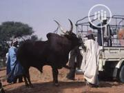 Buy Your Cows Here | Livestock & Poultry for sale in Plateau State, Bassa-Plateau