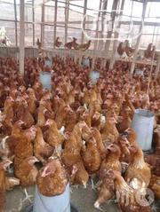 Point Of Lay | Livestock & Poultry for sale in Oyo State, Oluyole