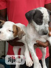 Baby Male Purebred American Pit Bull Terrier | Dogs & Puppies for sale in Bayelsa State, Yenagoa