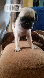 Young Female Purebred Pug | Dogs & Puppies for sale in Lagos State, Ikeja