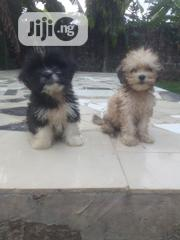 Baby Female Purebred Lhasa Apso | Dogs & Puppies for sale in Bayelsa State, Yenagoa