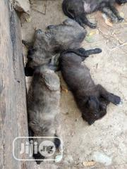Baby Male Purebred Caucasian Shepherd Dog   Dogs & Puppies for sale in Abuja (FCT) State, Gwagwalada