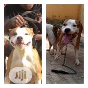 Adult Male Purebred American Pit Bull Terrier | Dogs & Puppies for sale in Oyo State, Ibadan