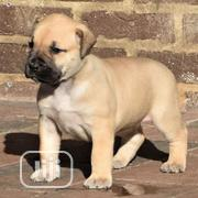 Young Female Purebred Boerboel   Dogs & Puppies for sale in Ogun State, Abeokuta South