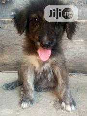 Young Male Purebred Caucasian Shepherd Dog   Dogs & Puppies for sale in Abuja (FCT) State, Gwagwalada