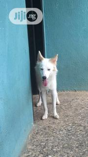 Adult Male Purebred American Eskimo Dog | Pet Services for sale in Lagos State, Ipaja
