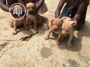 Young Male Purebred Boerboel | Dogs & Puppies for sale in Lagos State, Alimosho