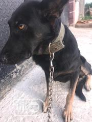 Senior Female Purebred German Shepherd Dog   Dogs & Puppies for sale in Lagos State, Orile