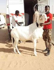 Matured Ram For Sale.   Other Animals for sale in Ogun State, Ijebu