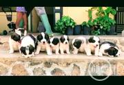 Young Female Purebred Saint Bernard | Dogs & Puppies for sale in Lagos State, Alimosho