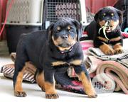Young Male Purebred Rottweiler | Dogs & Puppies for sale in Bayelsa State, Yenagoa