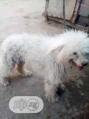 Senior Male Purebred Lhasa Apso   Dogs & Puppies for sale in Abuja (FCT) State, Gwagwalada
