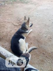 Adult Female Purebred German Shepherd Dog | Dogs & Puppies for sale in Oyo State, Ibadan