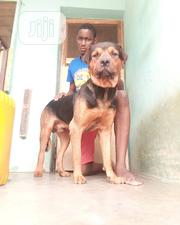 Senior Male Mixed Breed   Dogs & Puppies for sale in Oyo State, Ibadan