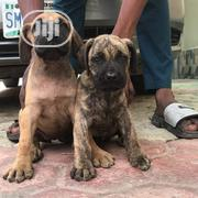 Young Male Purebred Boerboel | Dogs & Puppies for sale in Bayelsa State, Yenagoa