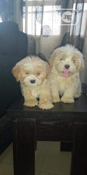 Young Male Purebred Lhasa Apso | Dogs & Puppies for sale in Bayelsa State, Yenagoa