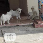 Young Male Purebred Samoyed | Dogs & Puppies for sale in Bayelsa State, Yenagoa