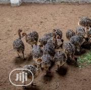 Ostrich Birds Available | Birds for sale in Ogun State, Ijebu