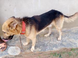 Adult Male Purebred German Shepherd Dog