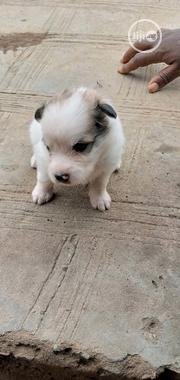 Baby Male Purebred Samoyed | Dogs & Puppies for sale in Lagos State, Alimosho