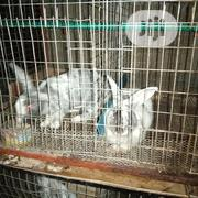 Ibma Rabbits Farm | Livestock & Poultry for sale in Oyo State, Oluyole