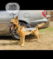 Adult Male Purebred German Shepherd Dog   Pet Services for sale in Oyo State, Ibadan