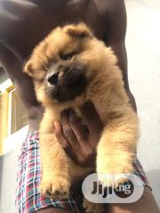 Young Male Purebred Chow Chow | Dogs & Puppies for sale in Lagos State, Alimosho