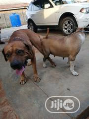 Massive Boerboel Available For Mating Service | Pet Services for sale in Lagos State, Ipaja