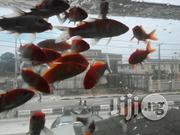 Japanese Koi Fish | Fish for sale in Lagos State, Ikoyi