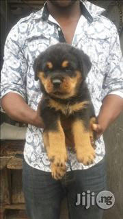 SECURITY DOG - Boxhead Rottweiler Puppies | Dogs & Puppies for sale in Lagos State, Ikeja