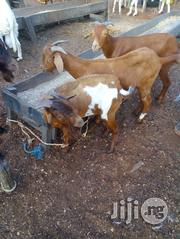 Foreign Goat For Sale   Livestock & Poultry for sale in Lagos State, Ikorodu