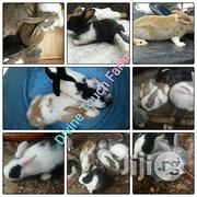 Rabbits For Sale | Livestock & Poultry for sale in Lagos State, Ikotun/Igando