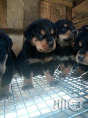 Box Head Rottweiler Puppies | Dogs & Puppies for sale in Lagos State, Amuwo-Odofin