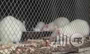 Wilstar Rats, Albino Rats, Lab Rats | Other Animals for sale in Oyo State, Akinyele