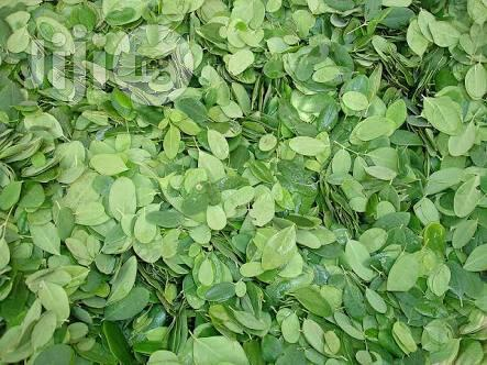 Organic Moringa Olifera Leaves Wholesale