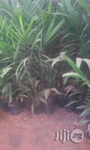 Palm Oil Tree Seedlings (Tenera) | Feeds, Supplements & Seeds for sale in Kaduna State, Kaduna North