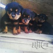 German Rottweiller Guard Dog Puppy / Puppies Available for Sale | Dogs & Puppies for sale in Lagos State, Amuwo-Odofin