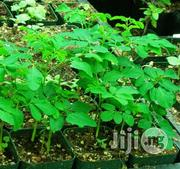 Moringa Olifera Seedlings   Feeds, Supplements & Seeds for sale in Plateau State, Jos