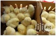 Day Old Broilers | Livestock & Poultry for sale in Oyo State, Ibadan