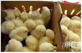 Day Old Broilers