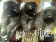 Guard Dogs - Mountain Caucasian Puppies- Free Delivery | Dogs & Puppies for sale in Lagos State, Kosofe